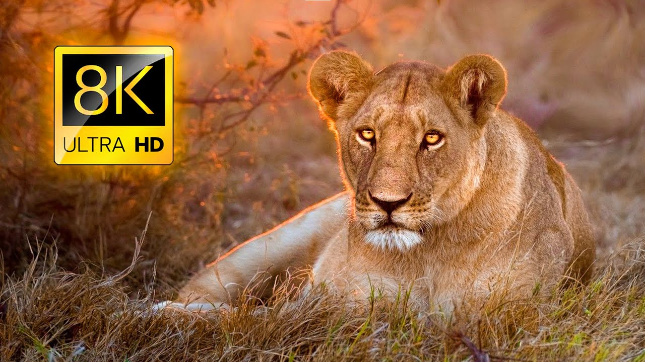 African Wildlife Tour Experience in 8K ULTRA HD / 8K TV