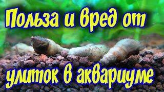 видео Для чего нужны улитки в аквариуме?