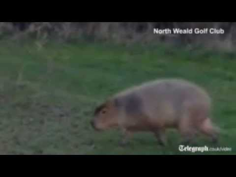 World's biggest rodent caught on UK golf course