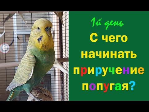 Вопрос: Как приручать волнистых попугаев?