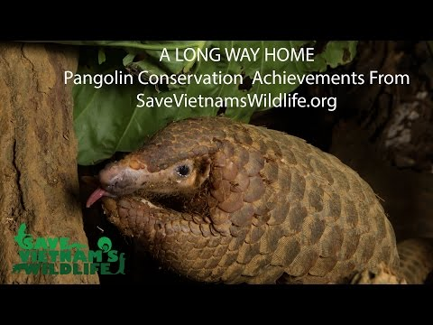 Pangolin Conservation Achievements of Save Vietnam's Wildlife!