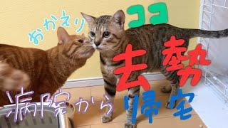 野良保護猫ココさん去勢1日目の前様子。