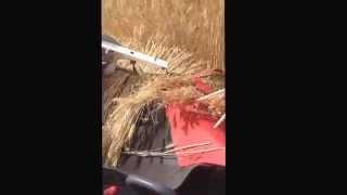 初めて麦作りなのに豊作だった。 ヤンマーコンバインEe-4 搬送部の藁の...