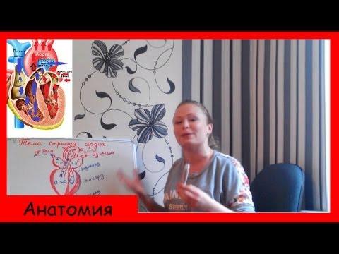 Возрастные анатомо-физиологические особенности сердечно
