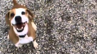 Maizy--Mountain Cur/Beagle Mix