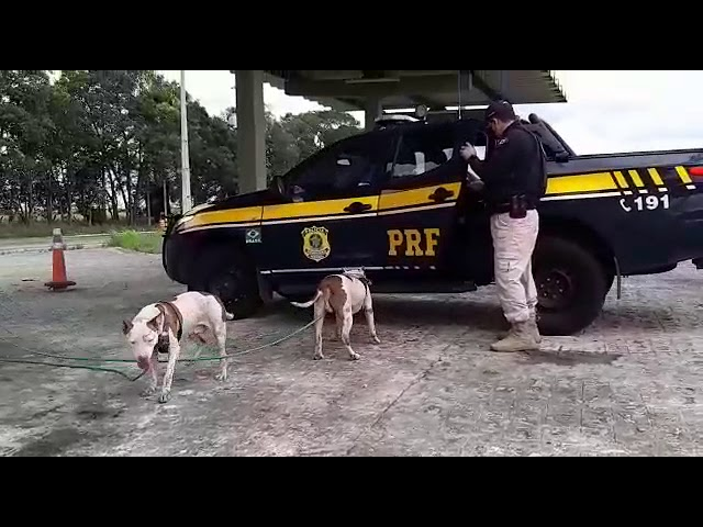 Cães da raça pitbull são resgatados na BR 101, em Igarassu