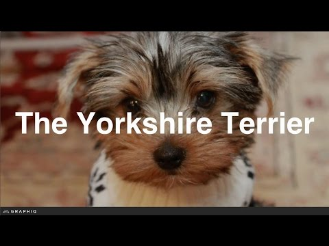 Yorkshire Terrier - Dog Profile from PetBreeds.com