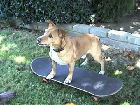 how to teach your dog to ride a skateboard