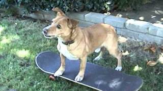 How To Train Your Dog To Skateboard Part 1