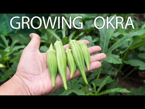 Growing Clemson Spineless Okra - Beautiful & Delicious Okra
