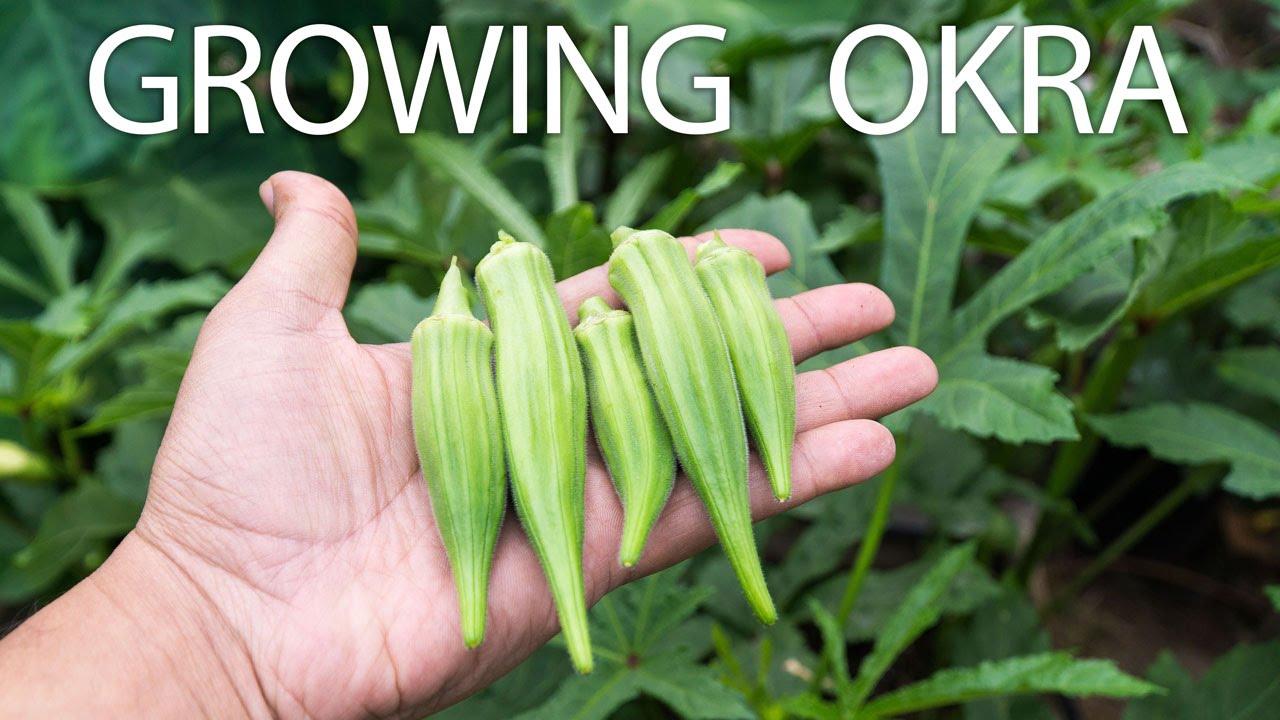 Growing Clemson Spineless Okra Beautiful Delicious Okra Youtube
