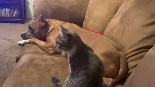 Pitbull Fights Kitten for Attention | Capone The Bully