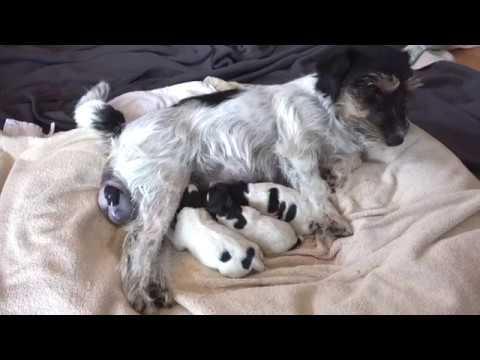 Natürliche Hundegeburt - Jack Russell Terrier - Problemlose Steissgeburt eines  Welpen