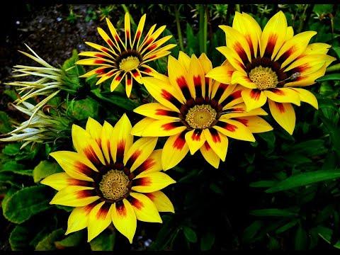 Вопрос: Каковы условия выращивания цветка Газания?