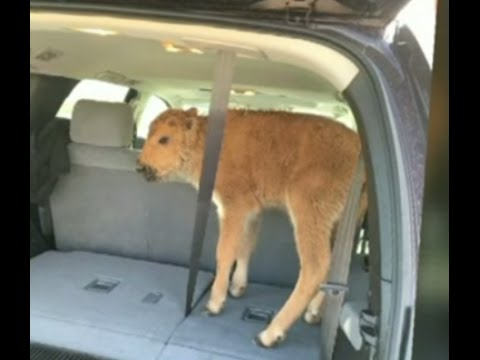 Yellowstone: Baby bison euthanized after 'misguided' rescue attempt