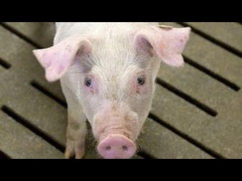 Armes Schwein - Fettes Geschäft - Der wahre Preis des Billigfleischs ARTE Aktuelles und Gesellschaft