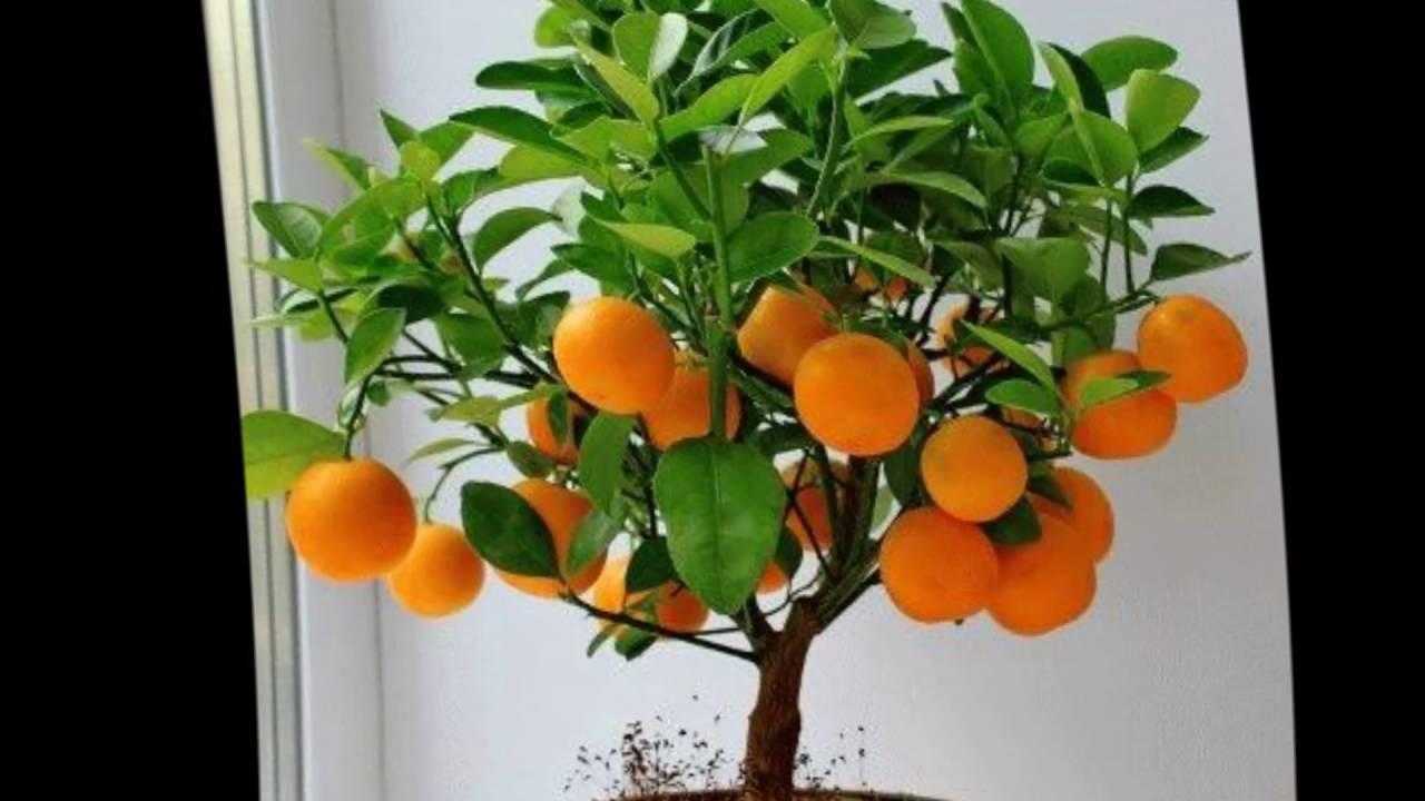 мандариновое дерево фото