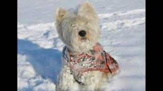 Westie In The Snow!