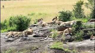 BIG LION FAMILY   Countless Lions Sleeping on Rock   Great Sightings of Masai mara