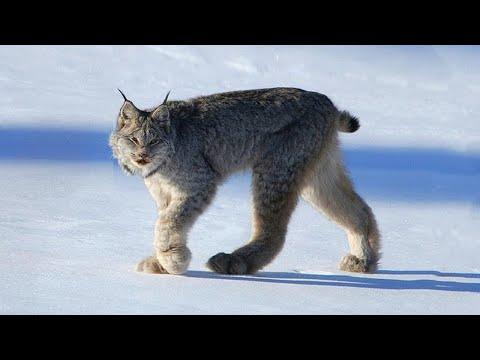 Die 10 Unglaublichsten Wildkatzen der Welt!