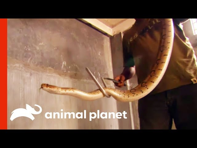Snake Catcher Rescues One Of The Deadliest Snakes In Asia | Raw Nature