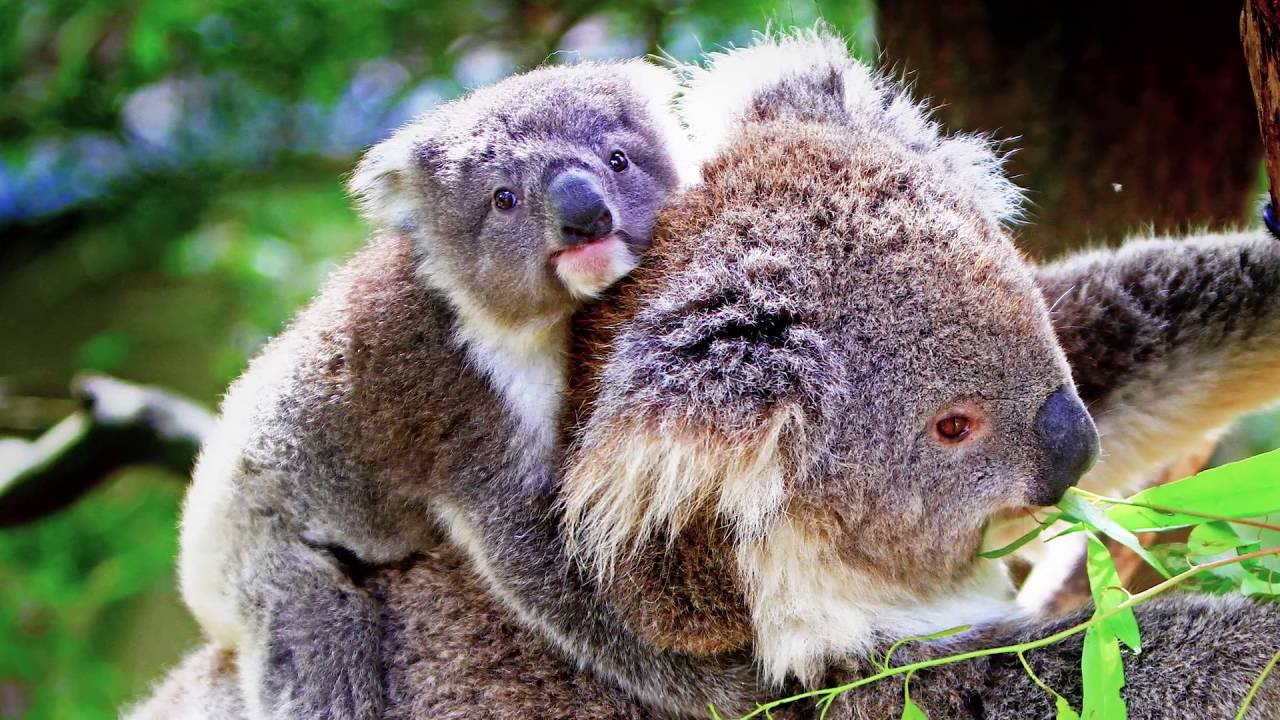 Koala pouches: well designed - YouTube