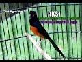 Suara Burung : Aksi Murai Batu Ekor Hitam  Gambul  Peringkat 2 Besar Di Valentine Pbi Yogyakarta video
