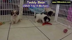Teddy Bear, Puppies, Dogs, For Sale, In Jacksonville, Florida, FL, 19Breeders, Orlando, Cape Coral