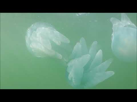 Blue Blubber Jellyfish And Other