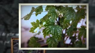 Бегония вечноцветущая (Begonia heracleifolia)(Бегония вечноцветущая- это сложный гибрид, в создании которого принимали участие несколько видов. ..., 2014-05-21T21:06:06.000Z)