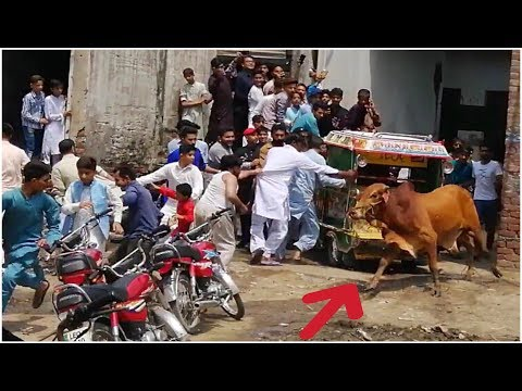 Cow Run-away Before Qurbani Eid ul Adha 2019 | Bull Run-away and Blocked the Road Bakra Eid 2019