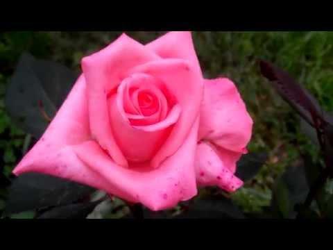 роза сорт Дольче Вита