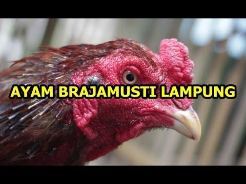 Inilah Ayam Brajamusti, Ayam Termahal di Dunia Yang Harganya Mencapai 250 Juta