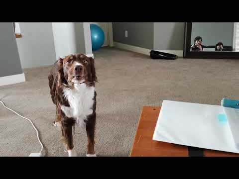 Australian Shepherd sings her favourite Mumford and Sons song