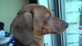 Dachshund Whining to go outside