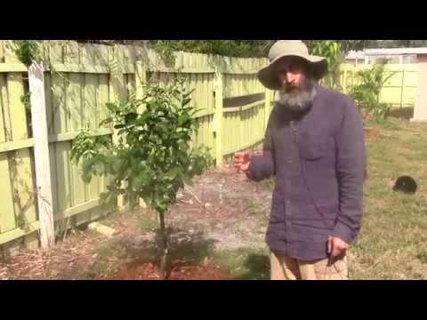 My Fruit Tree Back Yard  Dream Coming True