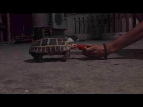 Rùa Núi vàng ( Elongated tortoise)