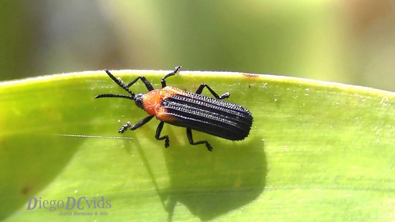 Chalepus sanguinicollis (Chrysomelidae - Cassidinae) tortoise and  leaf-mining beetles