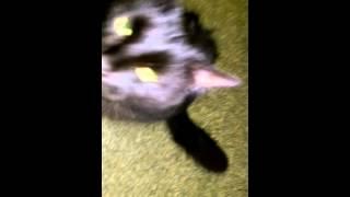 Cat with Mange/flea allergy