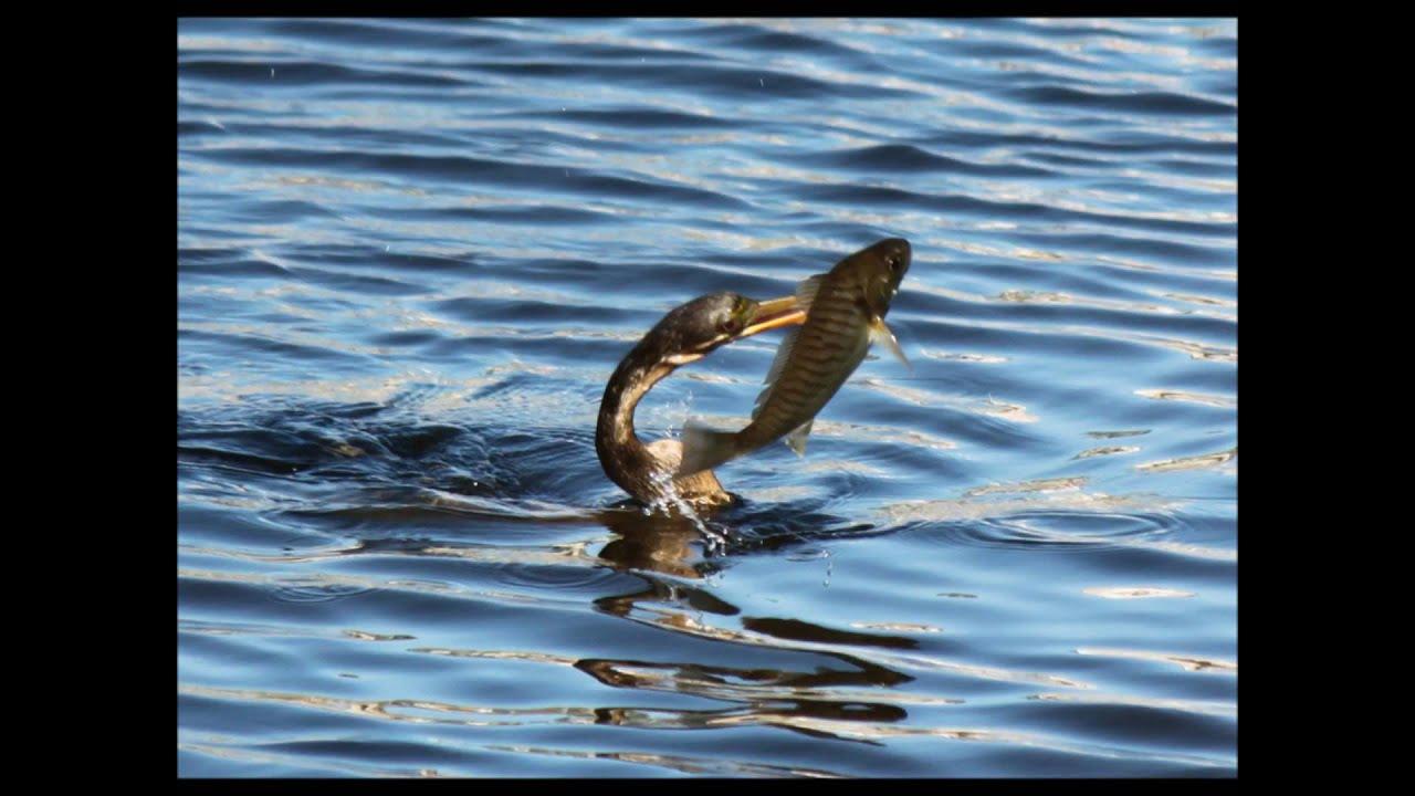 Bird Swallows Whole Fish Anhinga Water Turkey Youtube