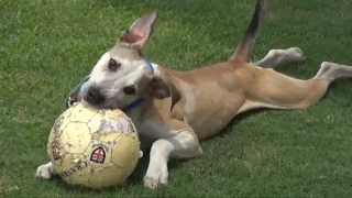 Jacob - Dog Prodigy? Adopted - Rspca Wacol Qld