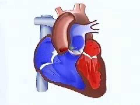 El cuerpo humano. El corazón - YouTube