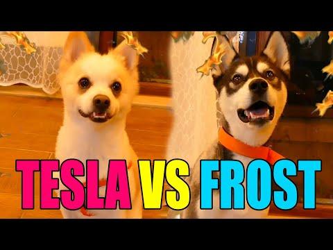 🐾 Can Dostlarımız Kapışıyor 🐶 [ Tesla vs Frost ] /w Gitaristv /w Buse Duygu