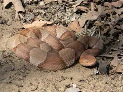 Inland Taipan vs Belcher's Sea Snake - Which Is The Worlds ...