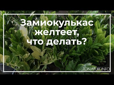 Замиокулькас желтеет, что делать? | toNature.Info