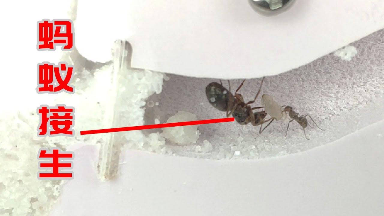 耗時7天拍到螞蟻接生珍貴影像妳見過嗎?