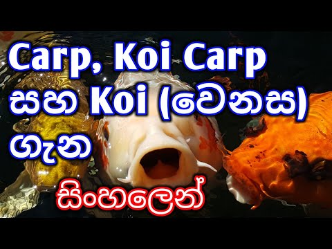 Difference Between Carp,Koi Carp And Koi In Sinhala | #CONTROVERSIAL#