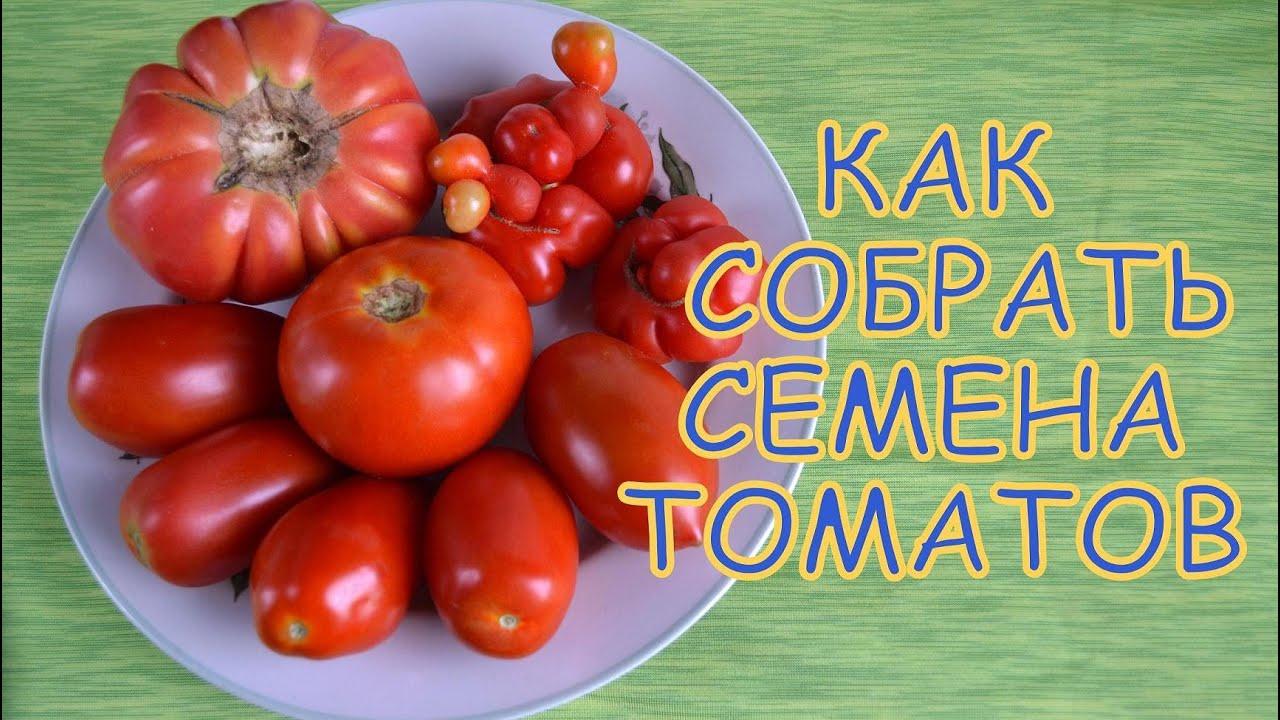 Как самим сделать семена из помидор