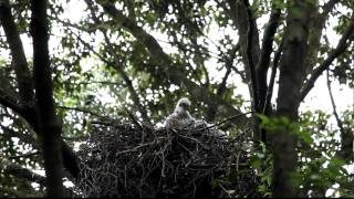 Gambar cover オオタカの雛と親鳥