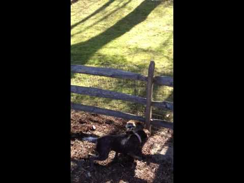 Hunting dog massacres raccoon